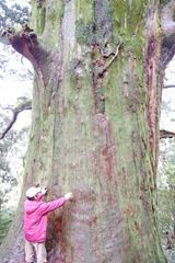 べにふうき畑の守り神樹齢1300年とも言われる春埜杉