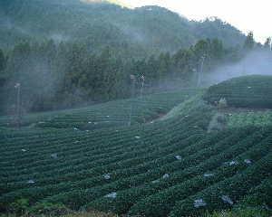 お茶畑の蜘蛛の巣